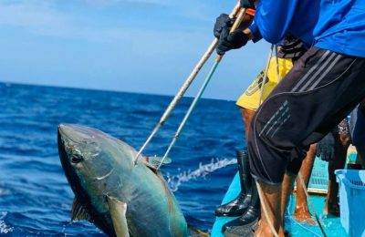 Prices of yellowfin tuna have been fluctuating recently
