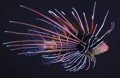 Clearfin lionfish - Photo: Wikipedia