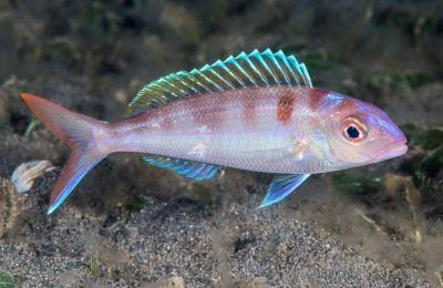 Fork-tailed threadfin bream  - Photo: Museums Victoria