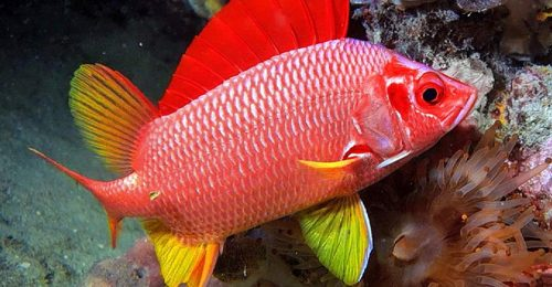 Sabre squirrelfish - Photo: monaconatureencyclopedia