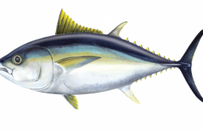 Big eye tuna - photo: Australian Fisheries Management Authority